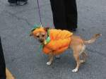 Wee dug entering into the spirit of the Pumpkin Festival